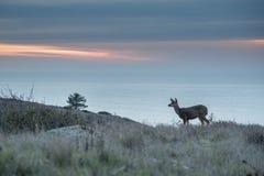 吃草在与海洋的日落的鹿在背景中 免版税库存图片