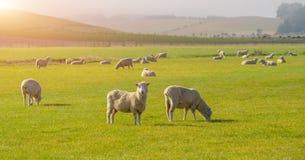 吃草在中央otago,新西兰的小山的绵羊 绵羊饲养在新西兰的奥塔哥地区地区 南岛普及的见解  库存图片