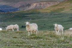 吃草在中间威尔士,英国的自然风景的绵羊 免版税库存照片