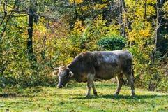 吃草在乡下的母牛 免版税图库摄影