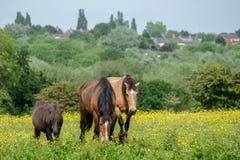 吃草在伍德盖特谷国家公园的马 免版税库存照片