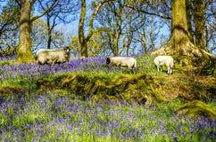吃草在会开蓝色钟形花的草中的绵羊 免版税库存图片