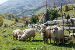 吃草在传统罗马尼亚山村的绵羊 库存照片