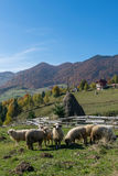吃草在传统罗马尼亚山村的绵羊 免版税库存图片