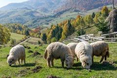 吃草在传统罗马尼亚山村的绵羊 库存图片