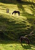 吃草在似气体的山坡的两匹马 免版税库存照片