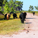 吃草在佛罗里达的母牛 库存图片