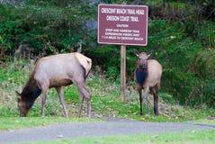 吃草在俄勒冈国家公园的两只罗斯福麋 库存图片