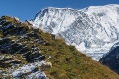 吃草在倾斜的绵羊在勃朗峰附近 库存图片
