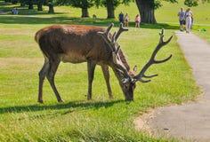 吃草在公园的鹿 免版税库存照片