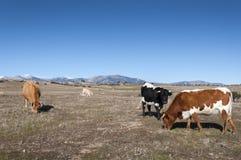 吃草在共用权牧场地的母牛 库存照片
