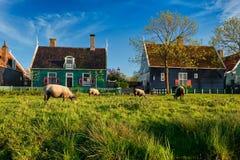 吃草在农厂房子附近的绵羊在Zaanse博物馆村庄  免版税库存图片