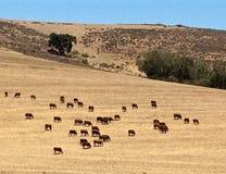 吃草在农场的南非牛和小牛 图库摄影
