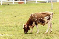 吃草在农场的母牛。 图库摄影