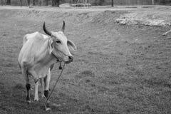 吃草在农场的母牛 免版税库存图片