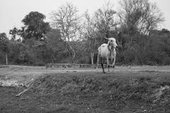 吃草在农场的母牛 库存图片