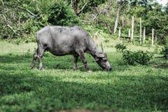 吃草在农场的水牛牧群  免版税库存图片