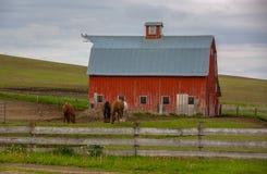 吃草在农场的篱芭后的马 库存照片