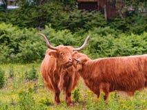 吃草在农场的逗人喜爱的高地母牛 免版税库存图片