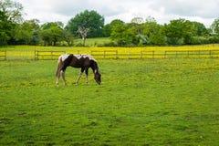 吃草在农场的马 免版税库存图片