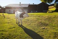 吃草在农场附近的母牛 免版税库存照片