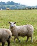 吃草在农村北爱尔兰农田里的绵羊 免版税库存照片