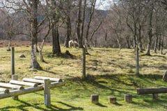 吃草在农村木戏剧设备附近的绵羊 免版税图库摄影