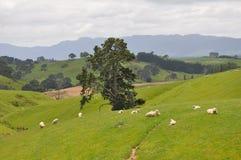 吃草在农田的绵羊在Hobbit和魔戒的被重建的集合附近 图库摄影