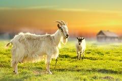 吃草在农田里的两只山羊 免版税图库摄影