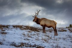 吃草在冬天的黄石麋 库存图片