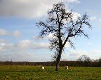 吃草在冬天的绵羊 库存照片
