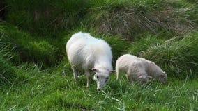 吃草在冰岛的绵羊 影视素材