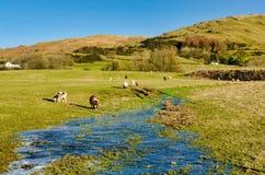 吃草在冻结,部分地洪水区域的绵羊 免版税库存图片