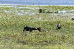 吃草在凤眼兰中丛林的水豚在伊维萨岛国立公园在阿根廷 免版税库存图片