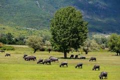 吃草在北Gre的河灰蝶科类春天旁边的水牛城 库存图片