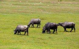 吃草在北Gre的河灰蝶科类春天旁边的水牛城 免版税库存图片