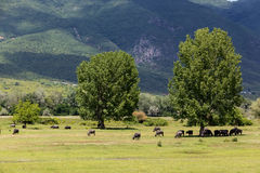 吃草在北Gre的河灰蝶科类春天旁边的水牛城 库存照片