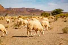 吃草在南摩洛哥的石土地的绵羊 免版税库存照片