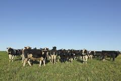 吃草在南美大草原的母牛 库存图片