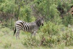吃草在南非的斑马 免版税库存图片