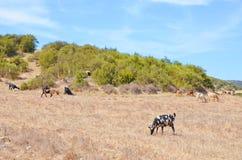 吃草在卡帕斯半岛小山的山羊令人惊讶的牧群塞浦路斯的土耳其部分的 库存图片
