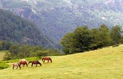 吃草在厄尔布尔士山脉的马 库存照片