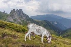 吃草在喀尔巴阡山脉的草的驴 免版税库存照片