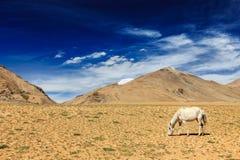 吃草在喜马拉雅山的马 Ladakh,印度 免版税库存照片