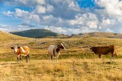 吃草在园地Imperatore高原的母牛在阿布鲁佐 免版税库存图片