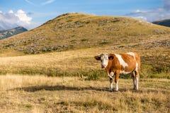 吃草在园地Imperatore高原的母牛在阿布鲁佐 免版税库存照片