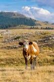 吃草在园地Imperatore高原的母牛在阿布鲁佐 图库摄影