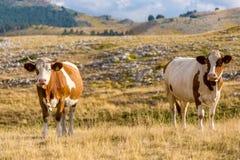 吃草在园地Imperatore高原的母牛在阿布鲁佐 库存照片