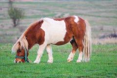 吃草在国家边的逗人喜爱的小的小马 免版税库存图片