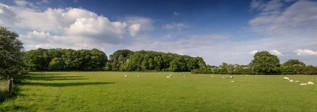 吃草在土地的绵羊 库存照片